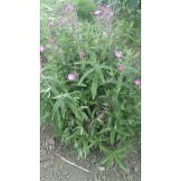Семена Кипрей мелкоцветковый