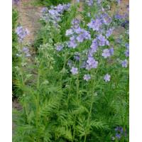 Семена Синюха голубая